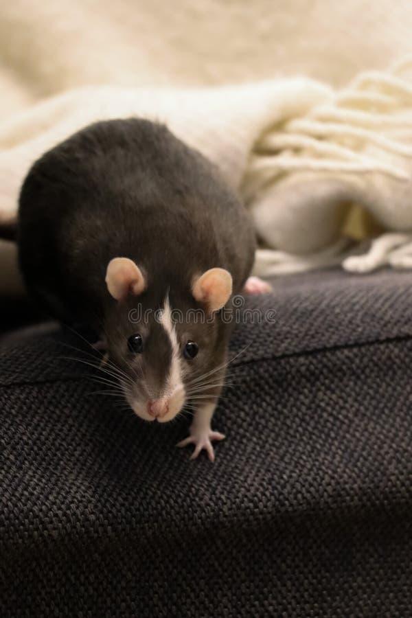 Rat d'animal familier semblant drôle photos libres de droits