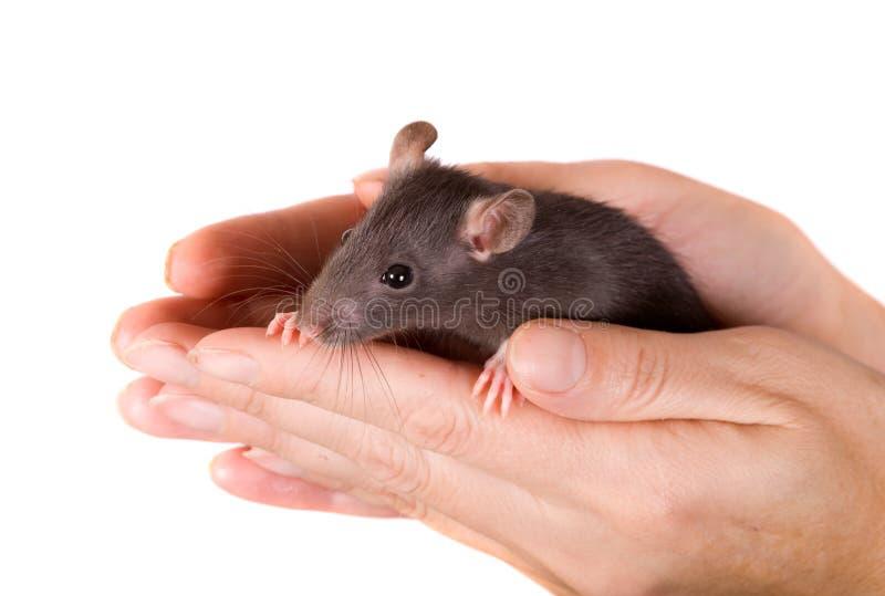 Rat dans des mains photo libre de droits