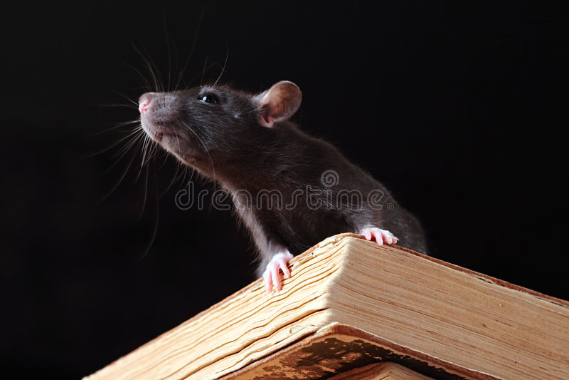 Rat dans la bibliothèque images stock