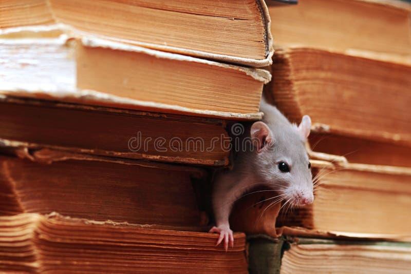Rat dans la bibliothèque photo stock