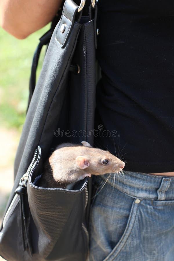 Rat dans le sac d'épaule photo stock