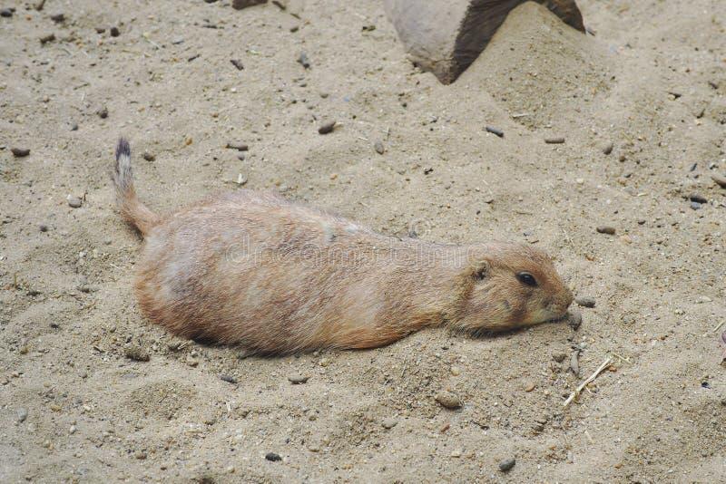 Rat dans le zoo photographie stock libre de droits