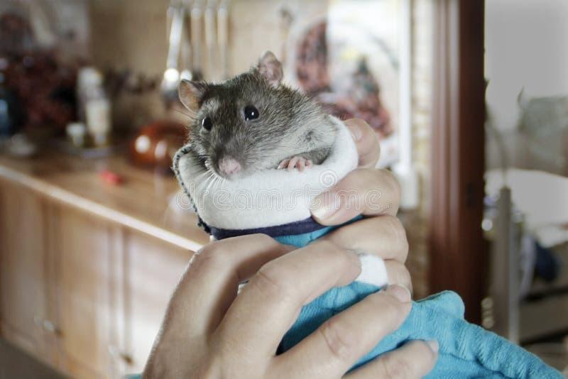 Rat dans les mains photo stock