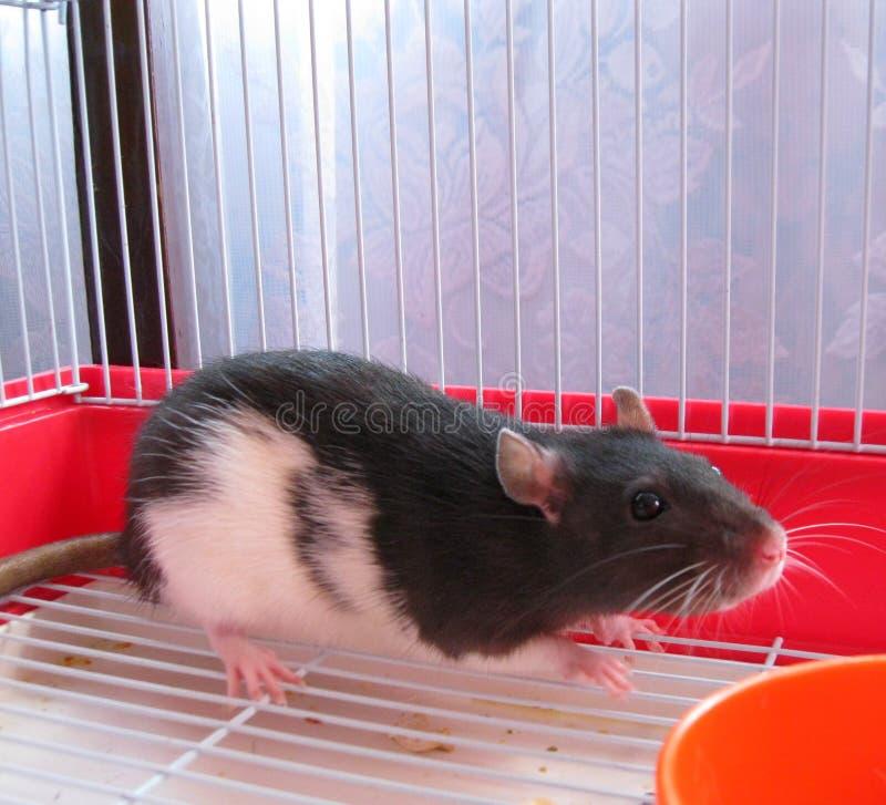 Rat dans une cage photo libre de droits