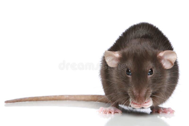 Rat de Brown photos libres de droits
