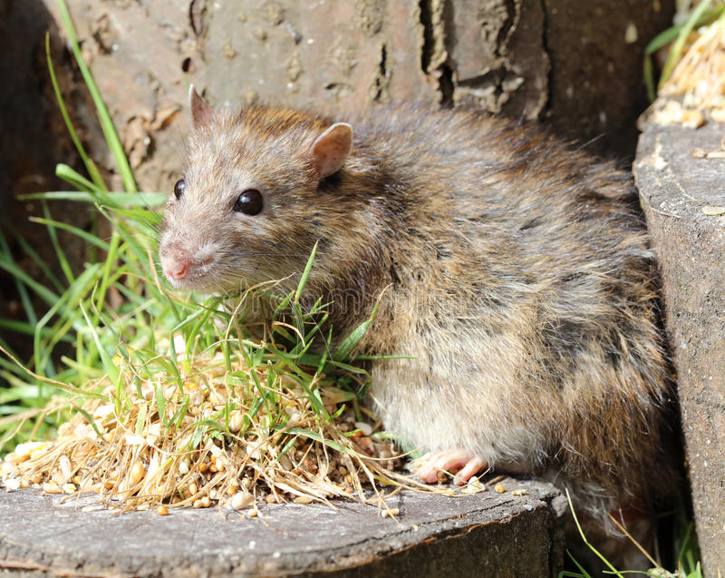 Rat de Brown image libre de droits