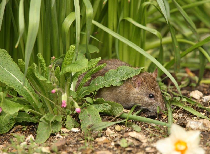 Rat de Brown photo libre de droits