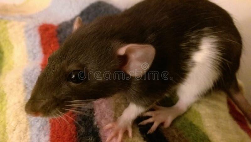 Rat de chéri image stock