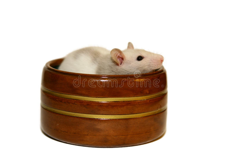 Rat de chéri photo stock