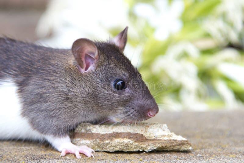 Rat de chéri images stock