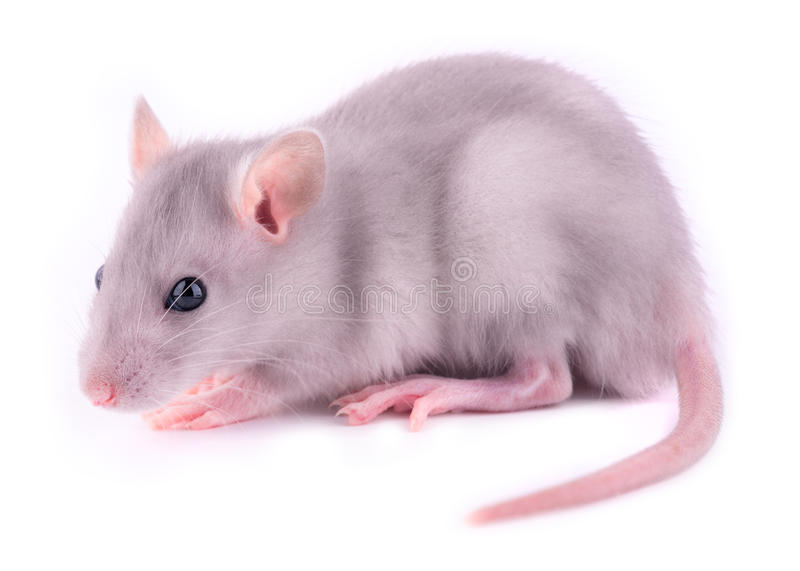 Rat de chéri   image stock
