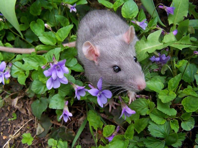 Rat de chéri photo libre de droits