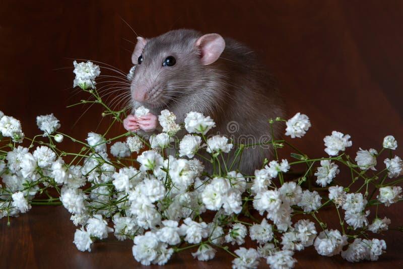 Rat de charme de dambo avec des fleurs de gypsophila sur un fond brun Photo de fête photo libre de droits