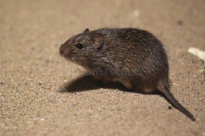 Rat de coton hispide images libres de droits