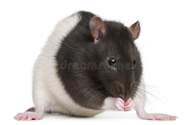 Rat de fantaisie, 1 an photo libre de droits