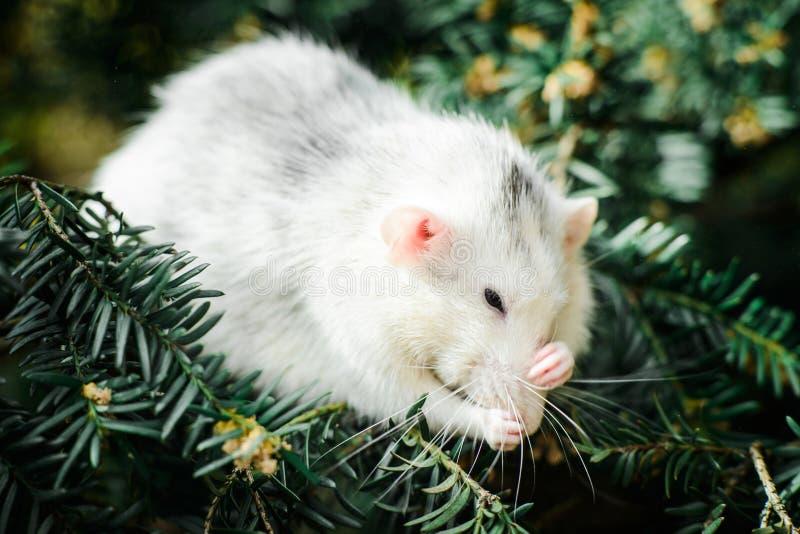 Rat de fantaisie sur l'arbre de sapin de Noël, nouvelle année chinoise 2020 photos libres de droits
