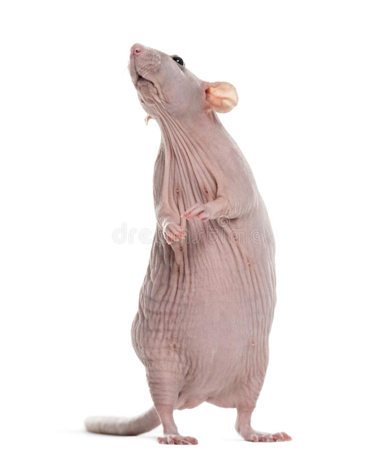 Rat de Hairlesss photo stock