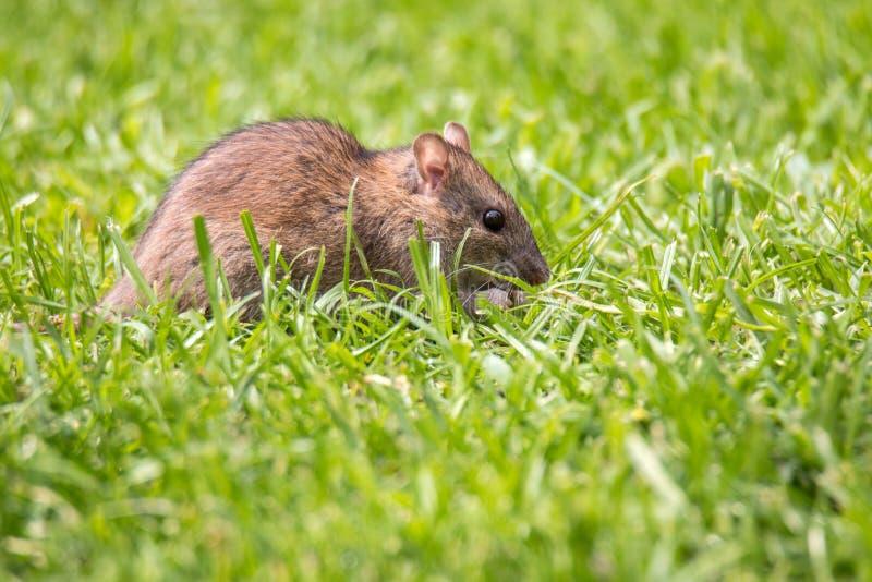 Rat de la Norvège dans le jardin entre les lames d'herbe photographie stock