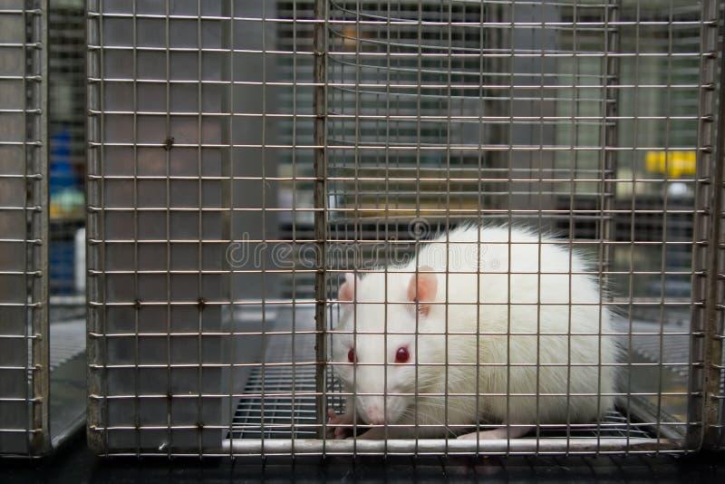 Rat de laboratoire albinos (norvegicus de rattus) enfermé dans la cage images libres de droits