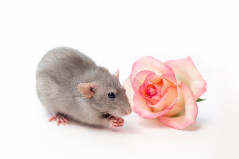 Rat de main, rat d'abruti, animaux familiers sur un fond blanc, un petit rat très mignon, un rat à côté d'une rose photographie stock libre de droits