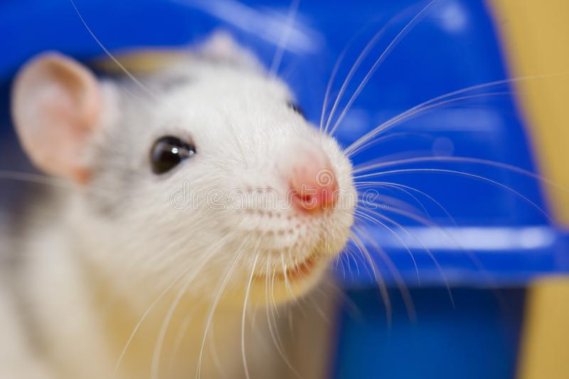 Rat decorative. gray - white, husky colors. symbol of 2020. Year of the rat. Chinese horoscope. pink nose and mustache stock images