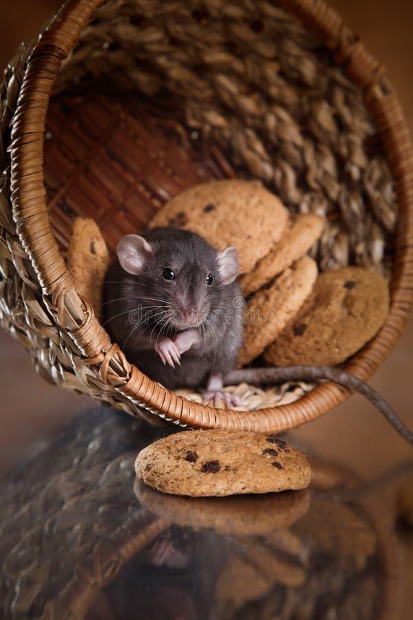 Rat domestique de Brown photos libres de droits