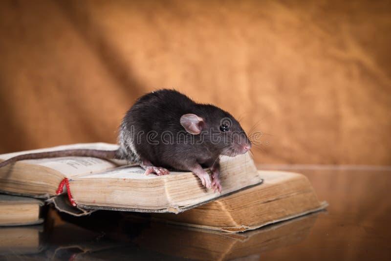 Rat domestique de Brown photo stock
