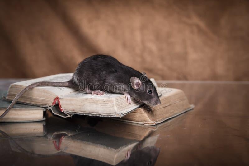 Rat domestique de Brown image libre de droits