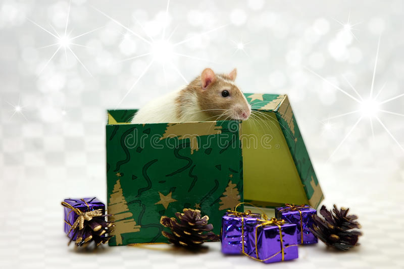 Rat in doos stock afbeeldingen