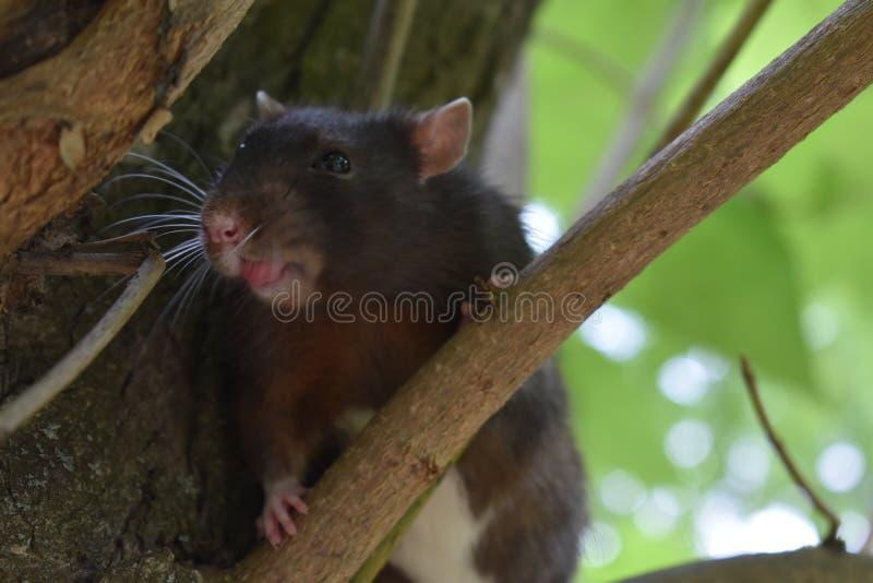 Rat drôle image libre de droits