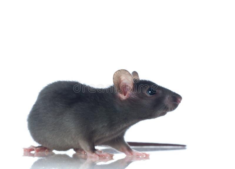 Rat drôle images libres de droits