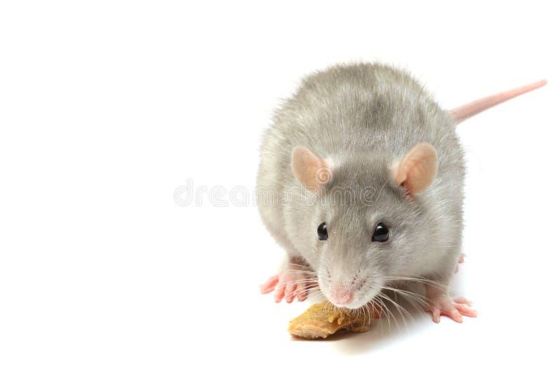 Rat drôle photo stock