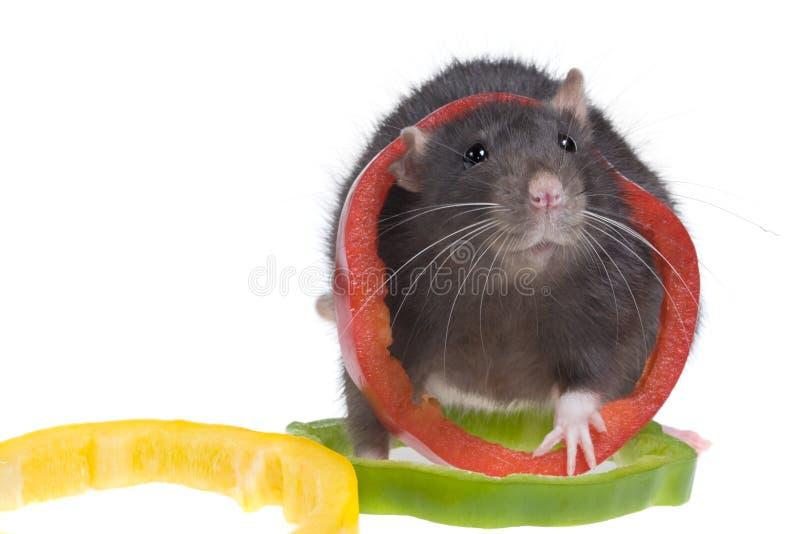 Rat drôle photos stock