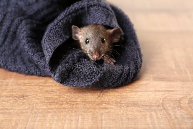 Rat drôle mignon se cachant dans le mensonge de douille de chandail photos libres de droits