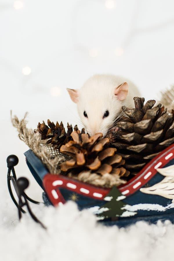 Rat drôle recherchant des cadeaux dans le traîneau aux décorations de Noël photographie stock libre de droits