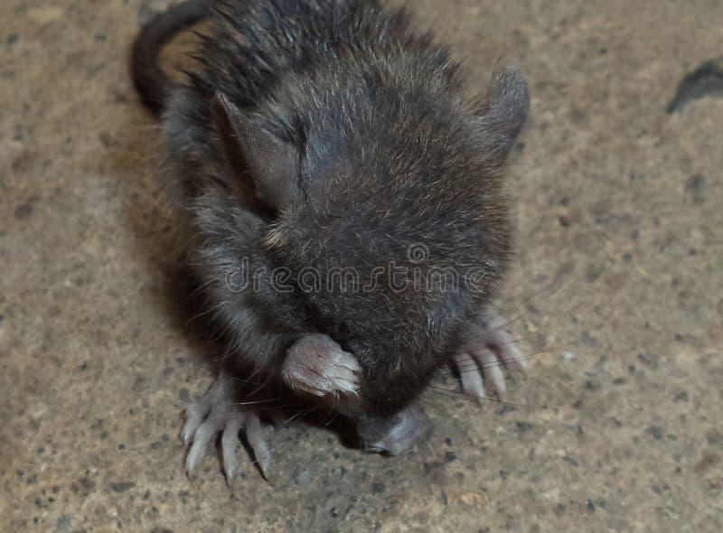 A rat drying it self stock photos