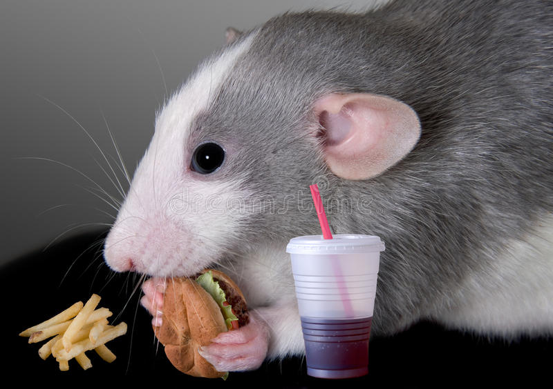 Rat eating fast food. A baby dumbo rat is eating a fast food meal royalty free stock image