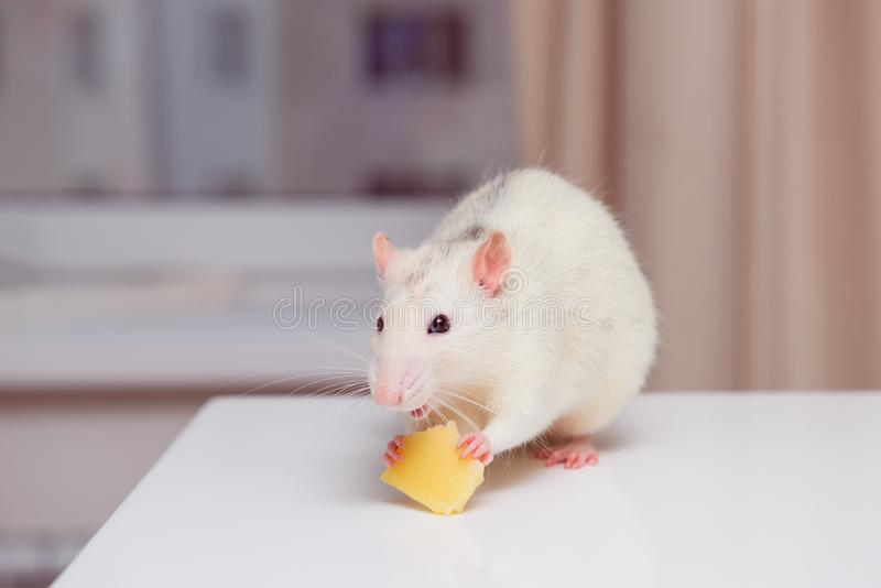 Rat eats cheese on table, looks closely at camera. Rodent is like a pet. toned. Rat eats cheese on table, looks closely at camera. Rodent is like a pet, toned stock photography