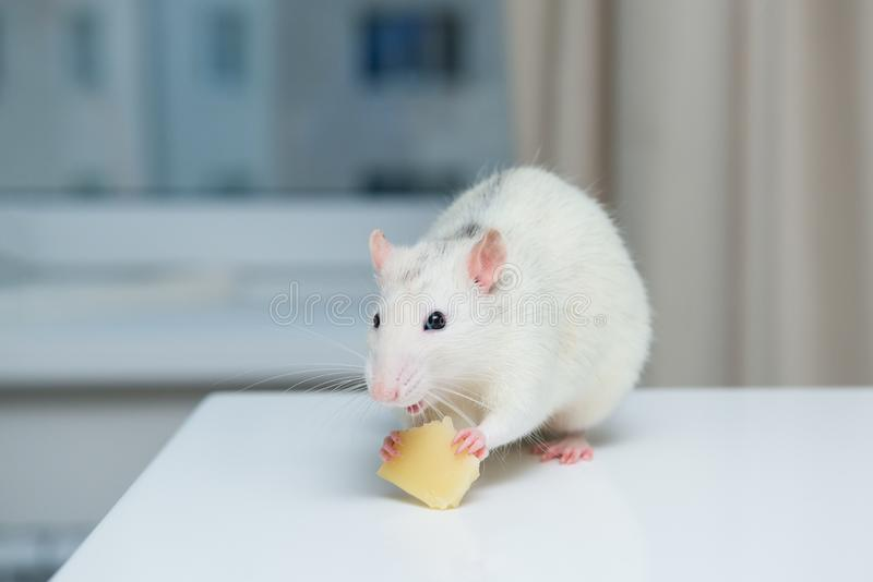 Rat eats cheese on table, looks closely at camera. Rodent is like a pet.  royalty free stock photo