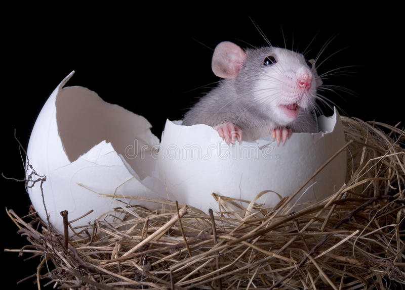 Rat emerging from egg royalty free stock photos