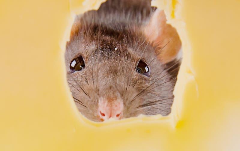 Rat en kaas royalty-vrije stock fotografie