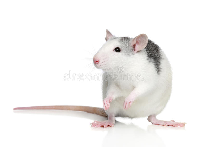Rat enroué image stock