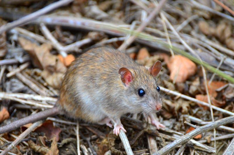 Rat envahissant sur Isla de la Plata, Equateur photo stock