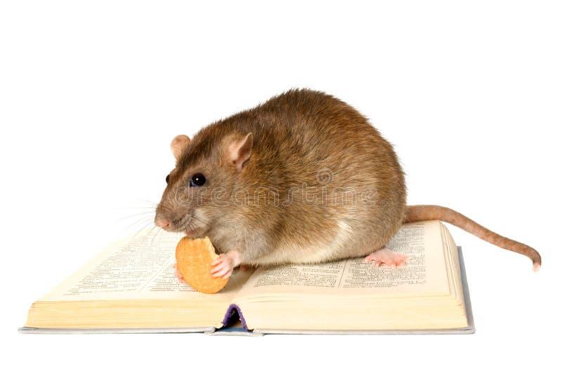 Rat et le livre photos stock