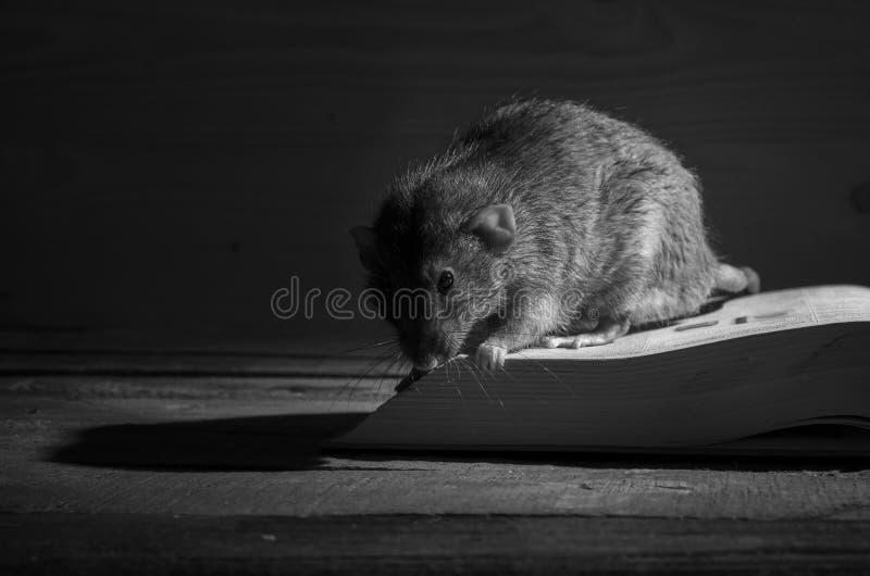 Rat et livre ouvert photo libre de droits