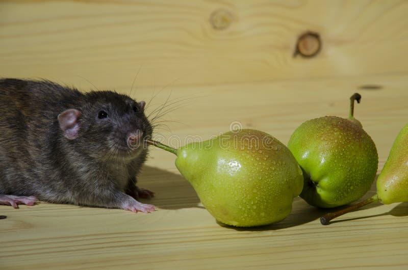 Rat et poires image stock