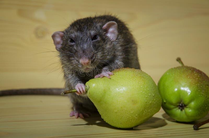 Rat et poires photos stock