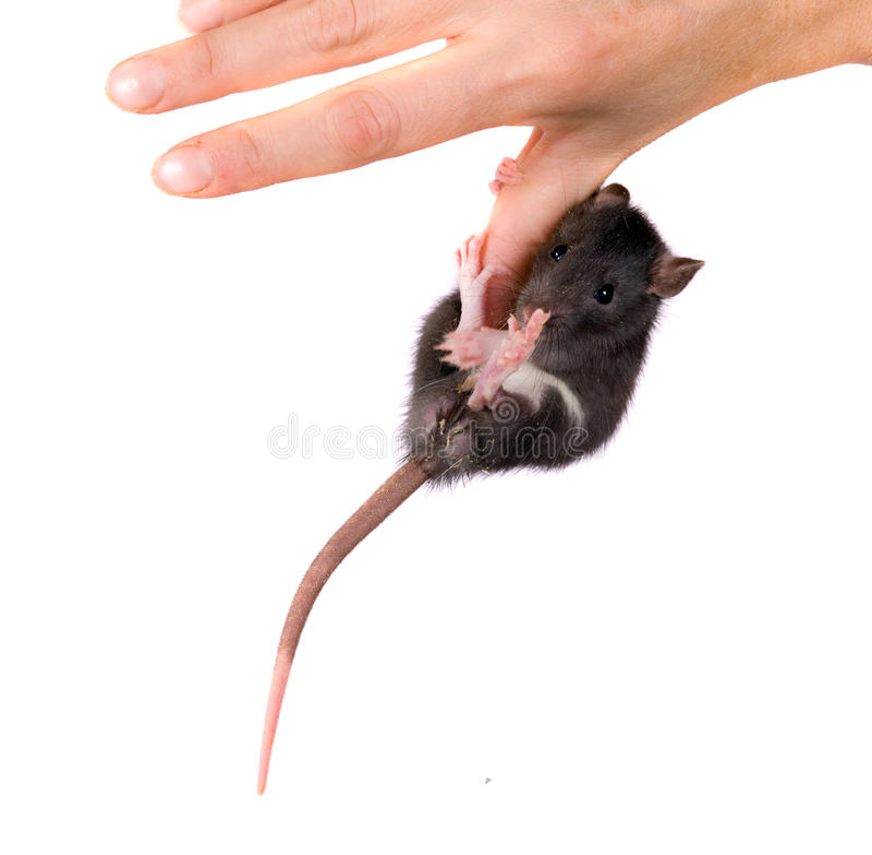 Rat on a finger stock photos