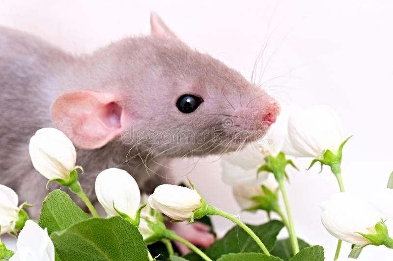 rat with flowers royalty free stock image