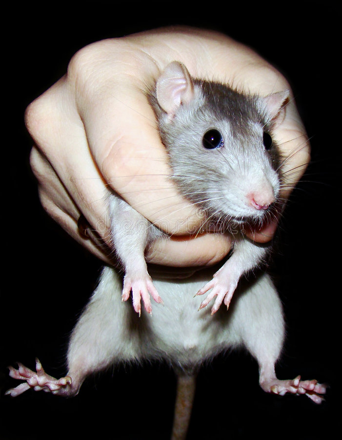 Rat in a grasp royalty free stock image
